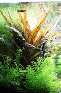 熱帯魚の水槽 アクアリウムの写真素材 [FYI02824677]