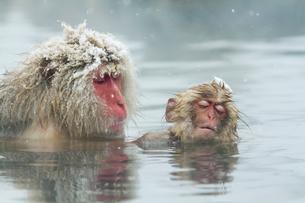 温泉で毛づくろいをする親子の写真素材 [FYI02824684]
