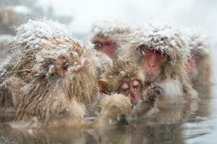 雪降りの中温泉に入るニホンザルの写真素材 [FYI02824747]