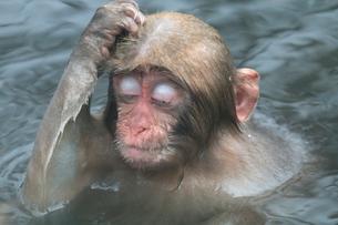 温泉で頭をかく子ザルの写真素材 [FYI02824764]