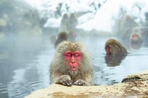 温泉にのんびりと浸かるメスのニホンザルの写真素材 [FYI02824862]