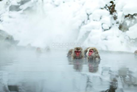 仲良しが寄り添って温泉に入るニホンザルの写真素材 [FYI02824907]