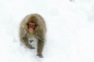 雪の上の子ザルの写真素材 [FYI02824908]