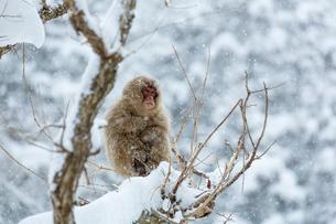 寒さに耐える子ザルの写真素材 [FYI02824911]