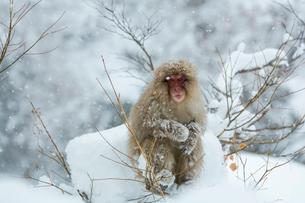 寒さに耐えるニホンザルの写真素材 [FYI02824924]