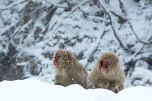 寒さに耐えるニホンザルの写真素材 [FYI02824932]