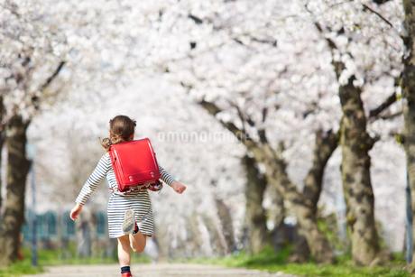 桜並木の道を走る小学生の女の子の後ろ姿の写真素材 [FYI02824985]