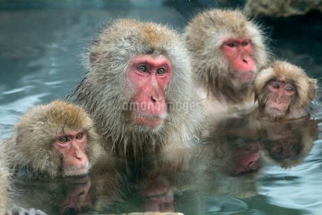 寄り添って温泉に入るニホンザルの写真素材 [FYI02825042]