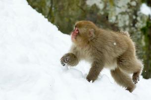 雪の上の子ザルの写真素材 [FYI02825051]