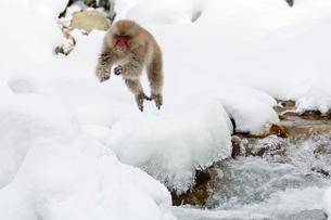 川をジャンプするニホンザルの写真素材 [FYI02825121]