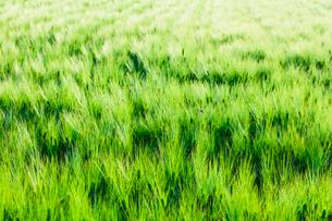 青い麦畑の写真素材 [FYI02825140]