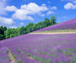 富良野点景  ラベンダー畑の写真素材 [FYI02825199]