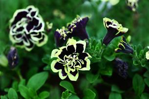 紫色のペチュニアの花の写真素材 [FYI02825253]