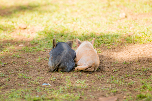 子豚のお尻の写真素材 [FYI02825326]