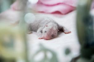 保育器の中のパンダの赤ちゃんの写真素材 [FYI02825337]