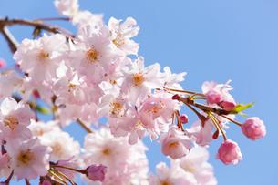 さくら(枝垂桜)の写真素材 [FYI02825395]