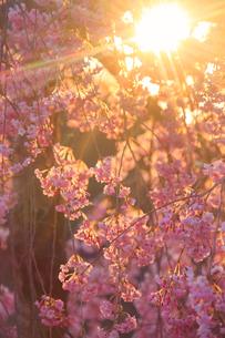 コモロヤエベニシダレと夕日の木もれ日の写真素材 [FYI02825607]