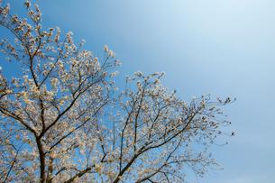 青らと見上げた満開の桜の木の写真素材 [FYI02825622]