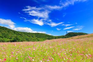 コスモス畑と秋空の写真素材 [FYI02825640]