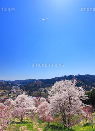 ソメイヨシノなどの桜と飛行機雲の写真素材 [FYI02825689]