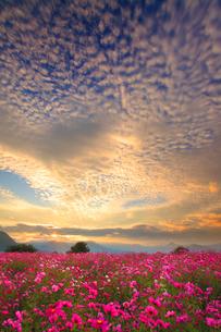 コスモス畑と夕日と夕焼けのうろこ雲と夫神岳などの山並みの写真素材 [FYI02825707]