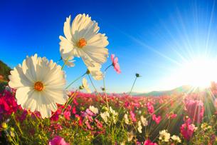 コスモス畑と朝日の光芒の写真素材 [FYI02825762]