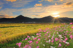 コスモスと夕日の光芒と稲穂実る田園と夫神岳と女神岳の写真素材 [FYI02825815]