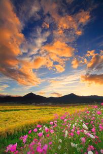 コスモスと夕焼けと稲穂実る田園と夫神岳と女神岳の写真素材 [FYI02825926]