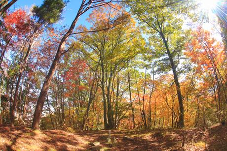 紅葉の女神岳城跡の本郭跡と木もれ日,魚眼の写真素材 [FYI02825946]