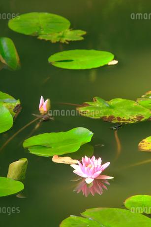 睡蓮の花の写真素材 [FYI02826024]