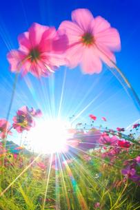コスモス畑と風に揺れるコスモスのアップと太陽の光芒の写真素材 [FYI02826080]