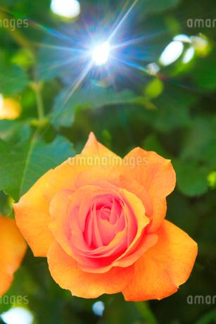 バラのアップと木もれ日の光芒の写真素材 [FYI02826135]
