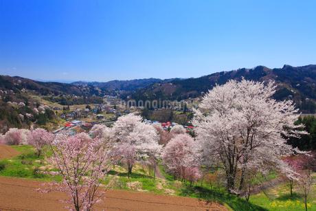 ソメイヨシノなどの桜と小川村俯瞰の写真素材 [FYI02826173]