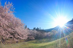 ソメイヨシノと朝日の光芒の写真素材 [FYI02826182]