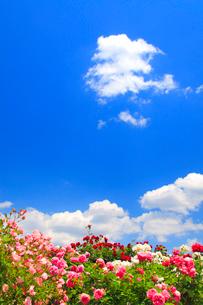 バラとわた雲の写真素材 [FYI02826268]