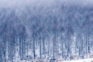 カラマツ林雪景色の写真素材 [FYI02826291]