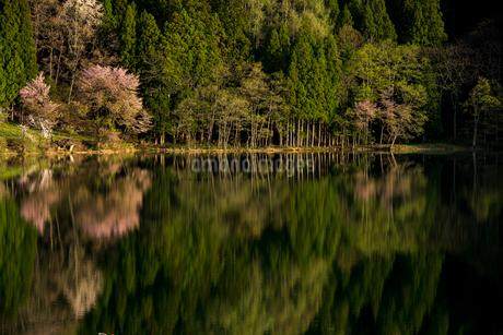 湖畔の若葉映す中綱湖の写真素材 [FYI02826304]