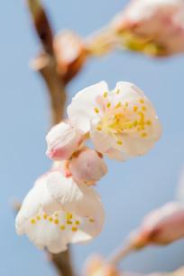 さくらんぼ佐藤錦の花の写真素材 [FYI02826427]