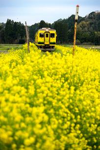 菜の花の中を走るいすみ鉄道の写真素材 [FYI02826442]