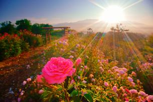 バラと朝日の光芒の写真素材 [FYI02826459]