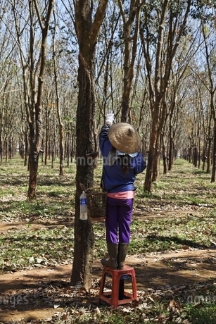 rubber plantation, rubber tree, woman, Central Highlandsの写真素材 [FYI02826589]