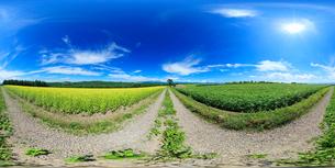 菜の花畑とジャガイモ畑と十勝連峰と大雪山と道のVRパノラマの写真素材 [FYI02826739]