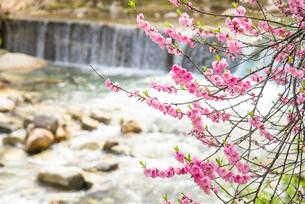 花桃と本谷川の清流の写真素材 [FYI02826806]