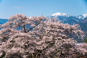 桜と北アルプスの写真素材 [FYI02826832]