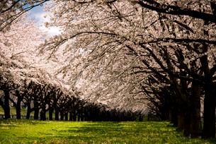 水沢競馬場の桜並木の写真素材 [FYI02826880]