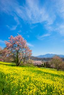 清哲町の菜の花畑とすじ雲の写真素材 [FYI02826933]