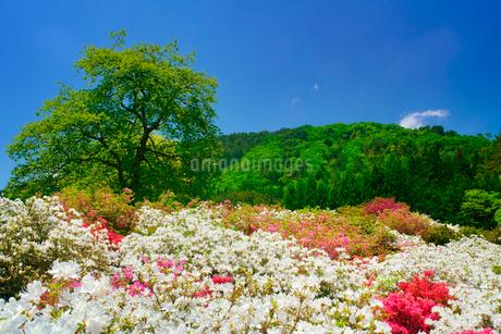 ツツジと女神岳と新緑の木立の写真素材 [FYI02826943]