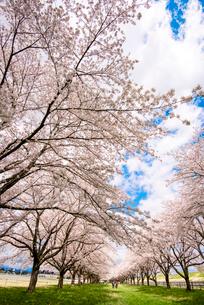 水沢競馬場の桜並木の写真素材 [FYI02826966]