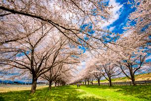 水沢競馬場の桜並木の写真素材 [FYI02826973]