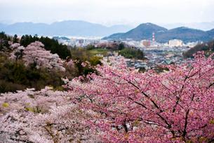 桜と福島市の街並み花見山よりの写真素材 [FYI02827077]